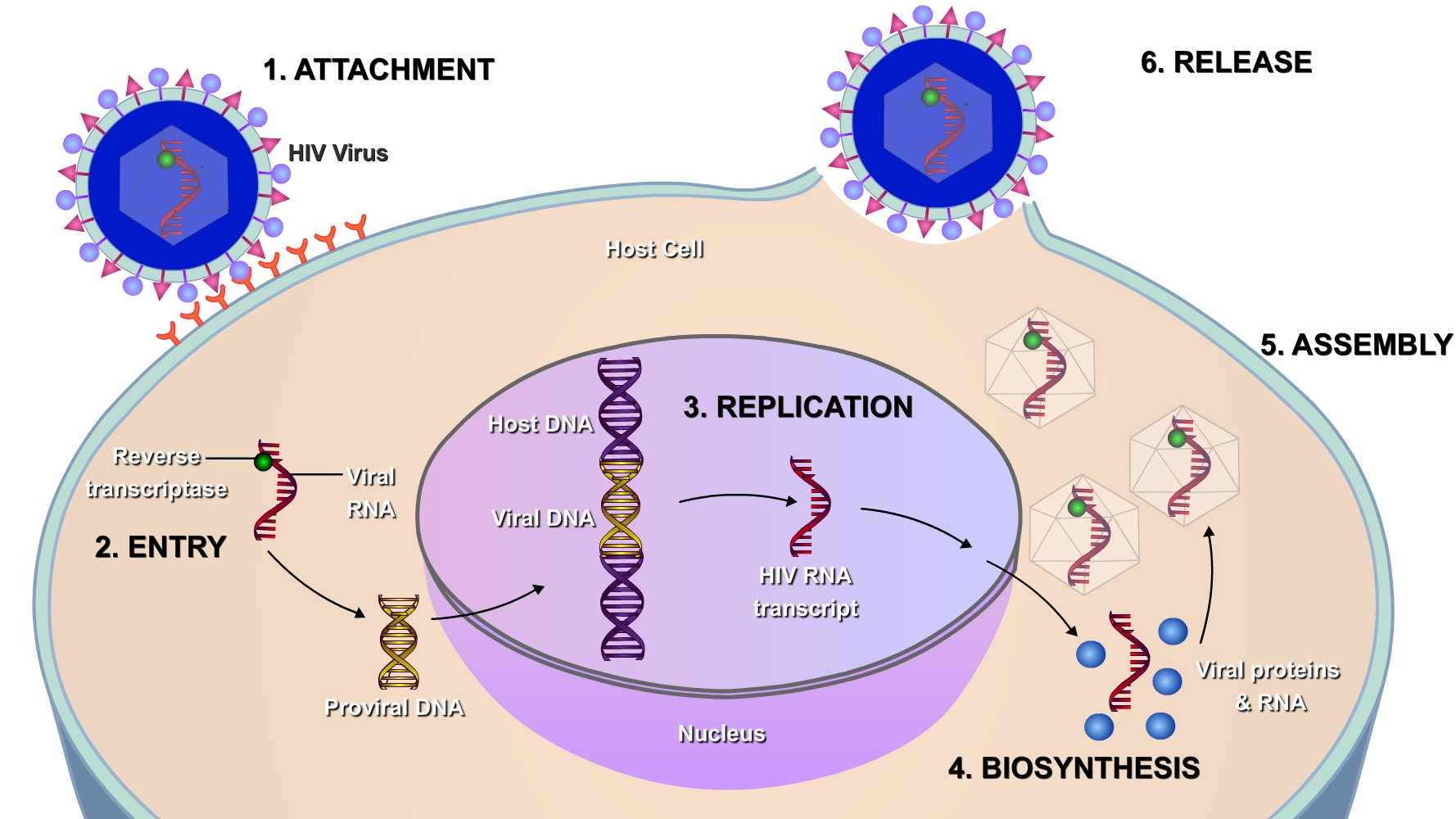 Image result for life cycle of retrovirus in host cell